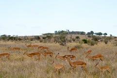 在大草原的三只飞羚 免版税库存照片