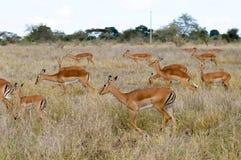在大草原的三只飞羚 库存照片