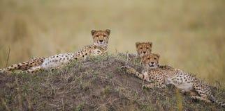 在大草原的三头猎豹 肯尼亚 坦桑尼亚 闹事 国家公园 serengeti 马赛马拉 库存照片