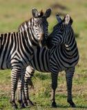 在大草原的两匹斑马 肯尼亚 坦桑尼亚 国家公园 serengeti 马赛马拉 免版税图库摄影