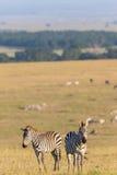在大草原的两匹斑马 免版税库存照片