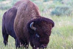 在大草原的北美野牛,侧视图 免版税库存照片