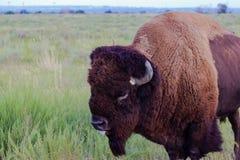 在大草原的北美野牛,左边视图,舌头 免版税图库摄影