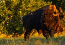 在大草原的北美野牛 库存照片