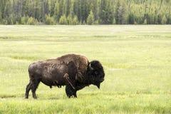 在大草原的北美野牛 免版税库存照片