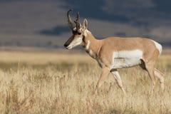 在大草原的叉角羚羊大型装配架 库存图片