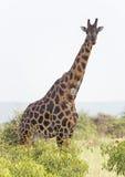 在大草原的受伤的长颈鹿 图库摄影