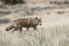 在大草原的土狼狩猎 免版税库存照片