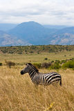 在大草原的埃赛俄比亚的斑马 免版税库存照片