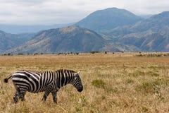在大草原的埃赛俄比亚的斑马 库存照片