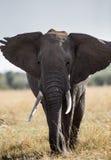 在大草原的大大象 闹事 肯尼亚 坦桑尼亚 serengeti 马赛马拉 免版税库存照片