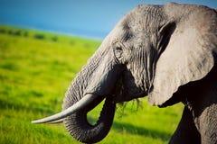 在大草原的大象。 徒步旅行队在Amboseli,肯尼亚,非洲 库存照片