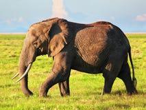 在大草原的大象。 徒步旅行队在Amboseli,肯尼亚,非洲 免版税图库摄影