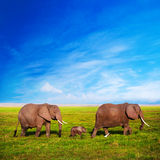 在大草原的大象系列。 徒步旅行队在Amboseli,肯尼亚,非洲 图库摄影