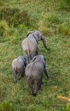 在大草原的大象 从热空气气球的射击 闹事 肯尼亚 坦桑尼亚 serengeti 马赛马拉 免版税库存照片