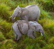 在大草原的大象 从热空气气球的射击 闹事 肯尼亚 坦桑尼亚 serengeti 马赛马拉 图库摄影