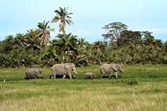 在大草原的大象 免版税库存图片