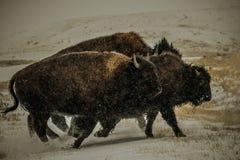 在大草原的寒冷冬天风景的北美野牛 图库摄影