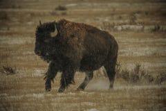 在大草原的寒冷冬天风景的北美野牛 库存图片