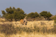 在大草原的常设eland羚羊 免版税库存照片