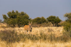 在大草原的常设eland羚羊 免版税库存图片