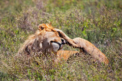 在大草原的幼小成年男性狮子。 徒步旅行队在Serengeti,坦桑尼亚,非洲 免版税图库摄影