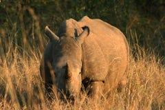 在大草原的幼小犀牛在日落 免版税库存照片