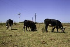 在大草原的母牛 库存图片
