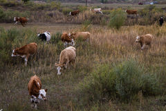 在大草原的牧群 图库摄影