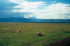 在大草原的狮子 免版税图库摄影