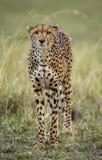 在大草原的猎豹 特写镜头 肯尼亚 坦桑尼亚 闹事 国家公园 serengeti 马赛马拉 图库摄影