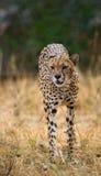 在大草原的猎豹 特写镜头 肯尼亚 坦桑尼亚 闹事 国家公园 serengeti 马赛马拉 免版税库存图片