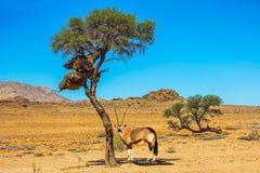 在大草原的羚羊属 库存图片