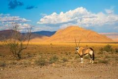 在大草原的羚羊羚羊属身分 橙色沙丘和干树  库存图片
