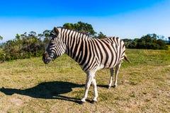 在大草原的草原的斑马 免版税图库摄影