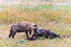 在大草原的被察觉的鬣狗与牺牲者 mara马塞语 库存图片