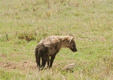 在大草原的被察觉的鬣狗 免版税库存图片