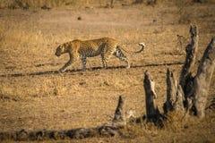 在大草原的豹子 免版税库存照片
