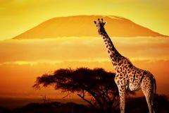 在大草原的长颈鹿。日落的乞力马扎罗山 免版税库存照片