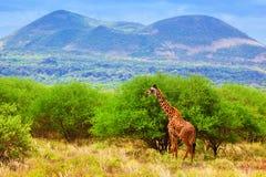 在大草原的长颈鹿。 徒步旅行队在西部的Tsavo,肯尼亚,非洲 库存图片