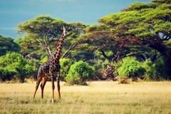 在大草原的长颈鹿。 徒步旅行队在Amboseli,肯尼亚,非洲 图库摄影