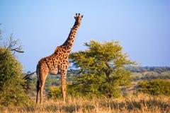 在大草原的长颈鹿。 徒步旅行队在Serengeti,坦桑尼亚,非洲 免版税库存图片