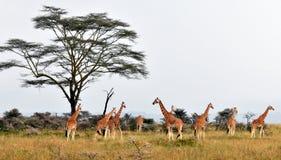 在大草原的长颈鹿牧群 免版税图库摄影