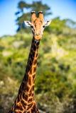 在大草原的长颈鹿画象 库存图片