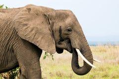 在大草原的非洲大象 库存图片