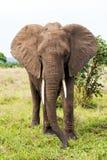 在大草原的非洲大象 库存照片
