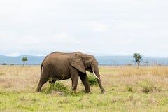 在大草原的非洲大象 免版税库存照片