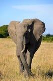 在大草原的非洲大象 免版税图库摄影
