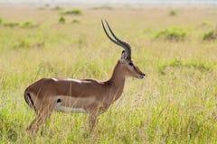 在大草原的飞羚 库存照片