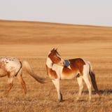 在大草原的马 库存图片